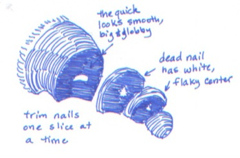 dog nail anatomy